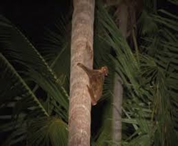 Amazing Pictures of Animals, photo, Nature, exotic, funny, incredibel, Zoo, Sunda flying lemur (Galeopterus variegatus), ALex (9)