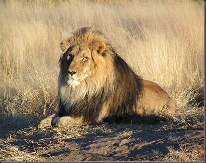 Amazing Animals Pictures Lion  (3)