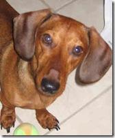 dachshund-0146