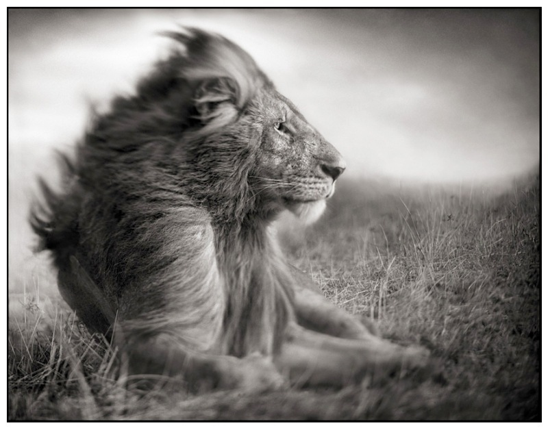2 Lion Before Storm II- Sitting Profile