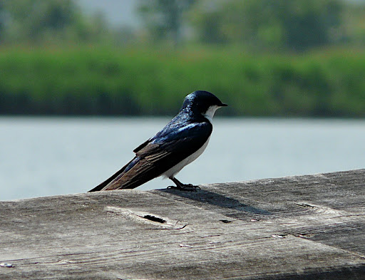 Beautiful Tree Swallow, DeKorte Park, May 28, 2011