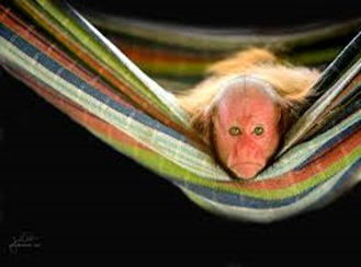 Amazing Pictures of Animals, photo, Nature, exotic, funny, incredibel, Zoo, Cacajao Calvus, Blad Uakari, Primate, Mammals, Alex (22)