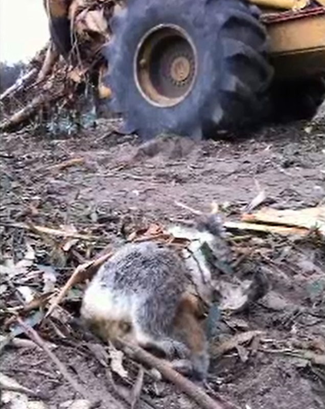 The body of a koala klled by logging operations lays in front of a logging truck, 22 July 2013. Timber workers say finding dead koalas is 'a daily thing', in a TV report claiming Victorian logging is wiping the animal out. Photo: Australian Broadcasting Corporation