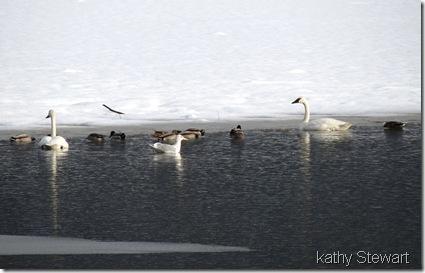 Swans, Mallards and Gull