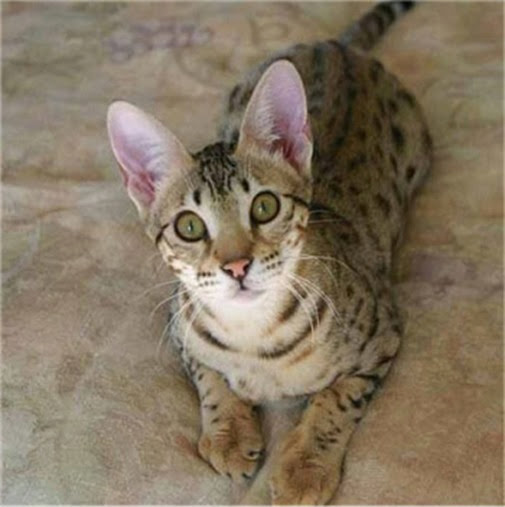 Amazing Pictures of Animals, Photo, Nature, Incredibel, Funny, Zoo,  Savannah cat,  domestic hybrid cat, Alex (11)