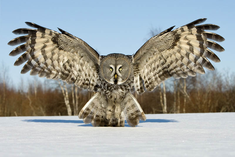 Great grey owl wings spread