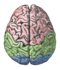 Cerebral lobes