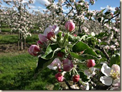 Wilderen: appelbloesems