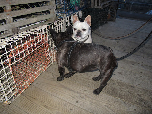 Francesca, be careful!  Those traps are big enough to catch Frenchies!