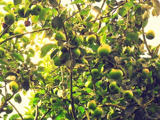 cooking apples - bramley