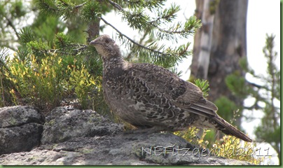IMG_8892Blue Grouse