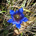 Gentiana%252520septemfida%25252c%252520mt.%252520khalkhaly%25252c%2525202012.09.07%252520%25252802%252529