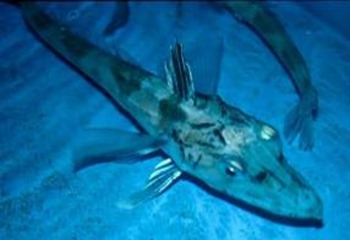 Amazing Pictures of Animals, photo, Nature, exotic, funny, incredibel, Zoo, Crocodile Icefish or White-Blooded Fish, Channichthyidae, Alex (4)