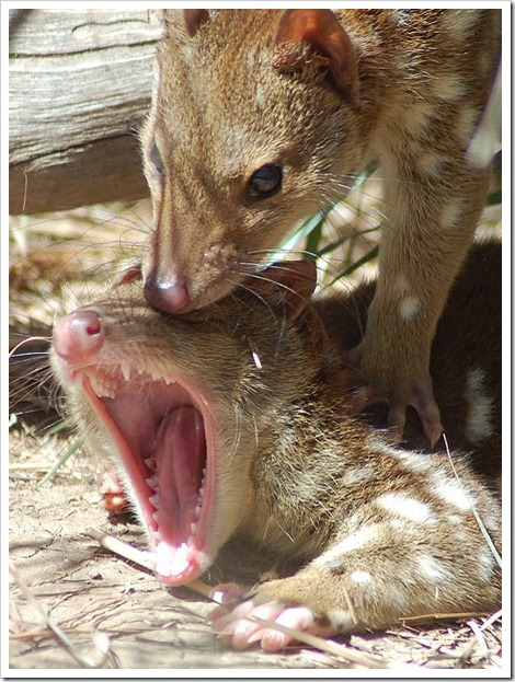Quolls Dath By Fornication