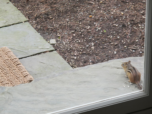 Well, looky, looky here!  The guilty party is a chipmunk.  I would so like to pounce, but I'm in here and its out there.
