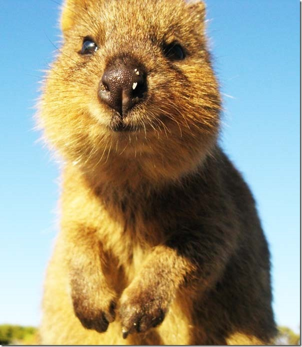 Quokka O animal mais feliz do mundo (1)