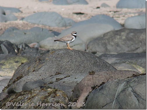9-ringed-plover