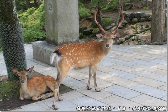 奈良梅花鹿公園,你在看我嗎?看我雄糾糾的鹿角。