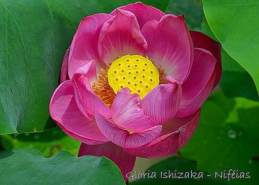 Glória Ishizaka - ninfeia