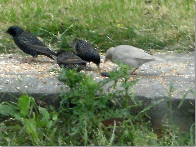 200613_White_Starling_Baby