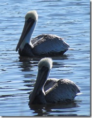 Pelicans at Huntington Beach