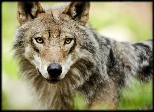 ojos de lobo