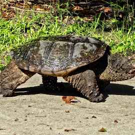 Alligator snapping turtle by Sandy Scott - Animals Reptiles ( reptiles, snapping turtle, turtle, alligator snapping turtle )