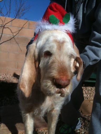 ...and Ugo the Spinone, both in festive Santa Hats.