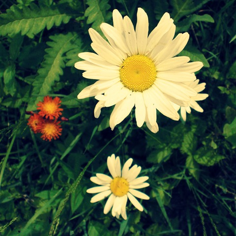 Cottage Daisies