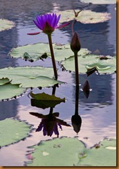 lily below the lotus