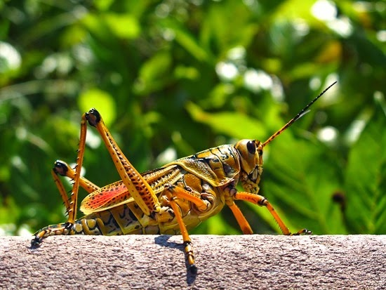 Everglades National Park by Bicycle Lubber Grasshopper