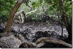 Seventeen Seventy mangroves