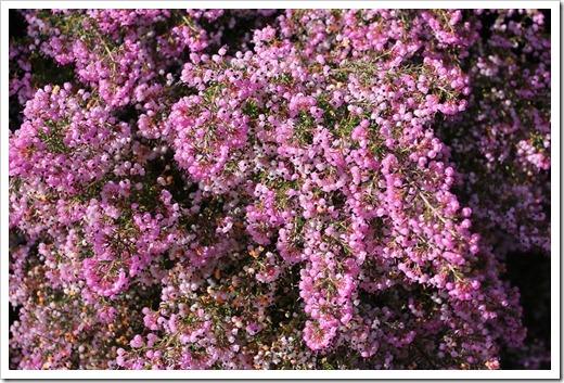 120211_UCSC_Arboretum_Erica-canaliculata_01