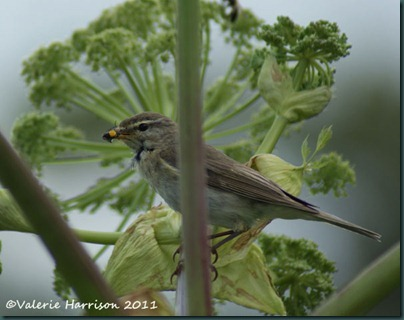 30 warbler-with-food