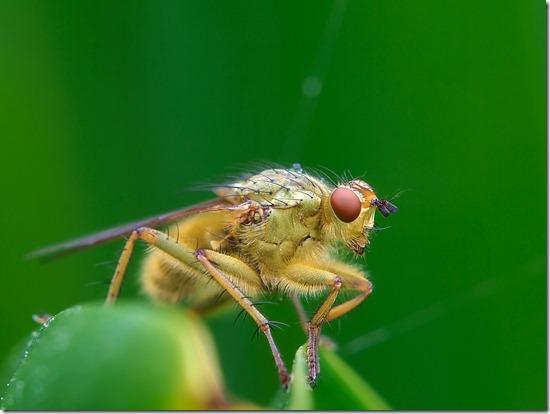 lalat juga