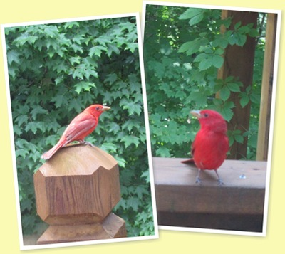 View Summer Tanager