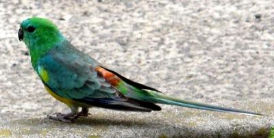 grass_parrot 010