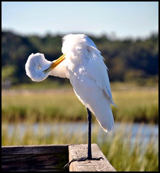Birds - Great Egret - which way is up
