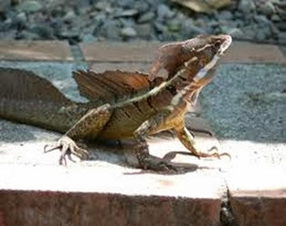 Amazing Pictures of Animals, Photo, Nature, Incredibel, Funny, Zoo, Common basilisk, Basiliscus basiliscus, Reptil, Alex (6)
