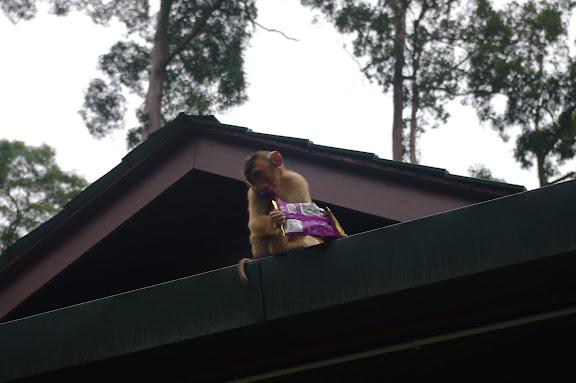 A naughty Macaque Monkey tears into his booty at the Sepilok Orang Utan Rehabilitation Centre Entrance.