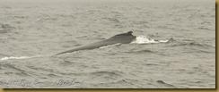Fin whale fog MSB_7234 NIKON D300S June 12, 2011