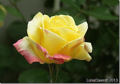Rose_BellaRoma_HybridTea2
