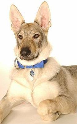 200px-Tschechoslowakischer_Wolfhund