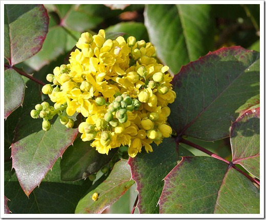 120222_Mahonia1