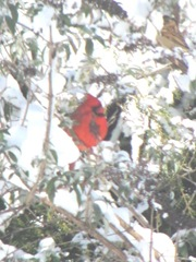 snowstorm 1.20.2012cardinal in back yard tree2