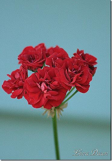 Geranium_Rosebud