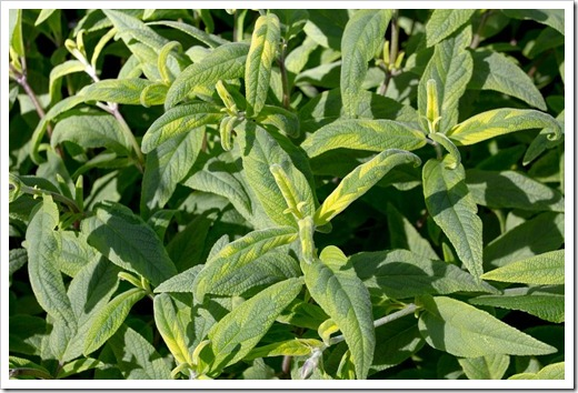 121003_Morningsun_Salvia-leucantha-variegata