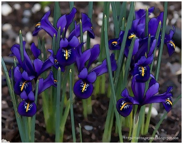 Little iris