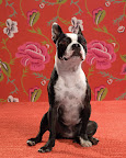 Petunia, a Boston terrier, looks an awful lot like Bette Davis to us. If Bette had a dog, we're sure it would have been a Boston terrier.