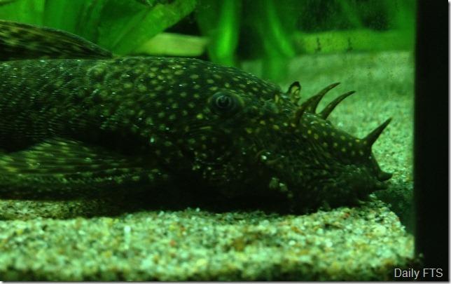 3-Bristlenose Catfish Ancistrus.52